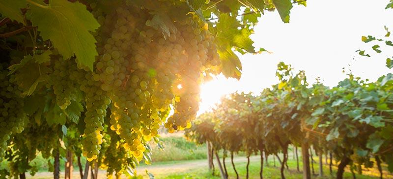 viñedos de pontevedra